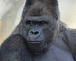東山動物園のシャバーニ