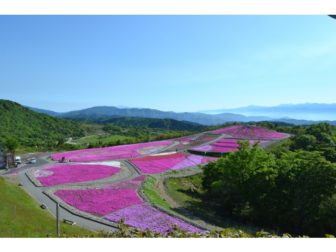 芝桜の開花状況05-0528