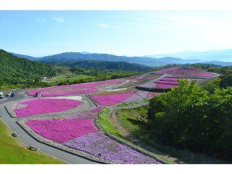芝桜の開花状況06-0604