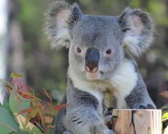 金沢動物園のコアラ