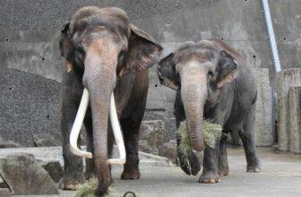 金沢動物園のインドゾウ